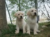 鄭州出售 精品拉布拉多幼犬狗狗出售 包純種 包健康