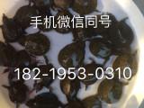 广东中华鳖苗 甲鱼苗批发 水鱼苗