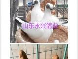FFF观赏鸽元宝鸽肉鸽出售