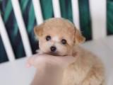 上海哪里有泰迪幼犬出售 泰迪熊长不大微小体价格 泰迪繁殖犬舍