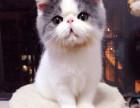 家养健康胖嘟嘟加菲猫小猫咪免费送喜欢幼猫新猫妈照顾啦