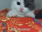 呼和浩特知名度高的猫舍有几家 呼和浩特猫舍 哪里有蓝猫卖