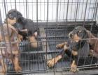 丽江卖狗丽江卖杜宾丽江买杜宾丽江狗场出售纯种杜宾