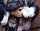 卖昆明犬的地方 武汉买昆明犬 昆明犬繁殖基地