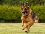 安阳纯种拉布拉多幼犬宠物活体出售