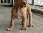 广州哪里有专业繁殖比特犬出售养殖基地 比特犬挑选价格优惠