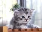 保证健康超萌世界名猫虎斑猫咪出售银色金色公母