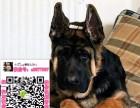 唐山德国牧羊犬什么价格 买卖黑背图片锤系德牧狼狗养殖基地