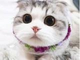哪里有折耳貓 折耳養殖 折耳幼貓轉讓