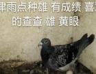 出售自己种鸽,名家的