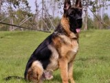 佛山铃铛狗场出售多种宠物狗 纯种德国牧羊犬价格