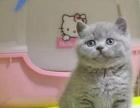 萌萌哒蓝猫 正八字粉鼻蓝白 【不卖高价 送猫砂】
