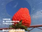 烟台哪些地方可以采摘草莓?烟台生态草莓产地直供