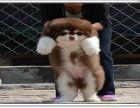 本地出售巨型熊版阿拉斯加 保纯种健康 可签协议