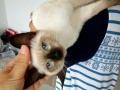 为我家小母暹罗猫找个新家
