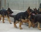 大型黑狼犬的价格图片 小黑狼犬幼崽哪里有卖的