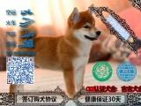 那里有纯种柴犬,柴犬多少钱,百分百纯种柴犬签协议出售