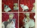 英短猫咪找新家长!