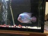观赏鱼泰金罗汉鱼