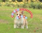 优质威尔士三色柯基犬 精品二色柯基丨拒绝低价