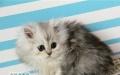 波斯系-高品质银色金吉拉 猫 幼猫