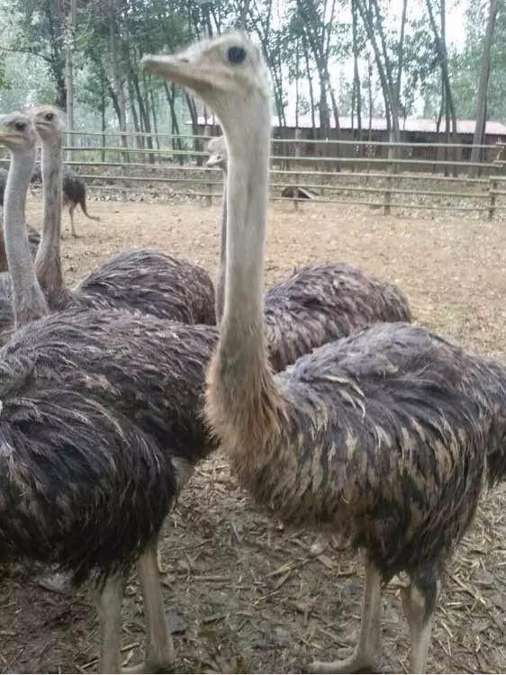 鸵鸟苗孔雀苗神兽羊驼骆驼