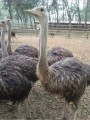 鸵鸟苗孔雀苗多少钱鳄鱼苗哪里有黑天鹅羊驼矮马多少钱