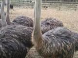 鸵鸟苗孔雀苗黑天鹅观赏鸭神宠羊驼迷你马