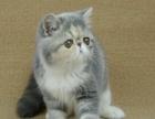专业缔造CFA加菲猫、花色齐全带出生纸欢迎品