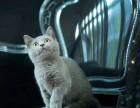 自家猫舍繁殖蓝猫 大包子脸 五短身材 活泼可爱