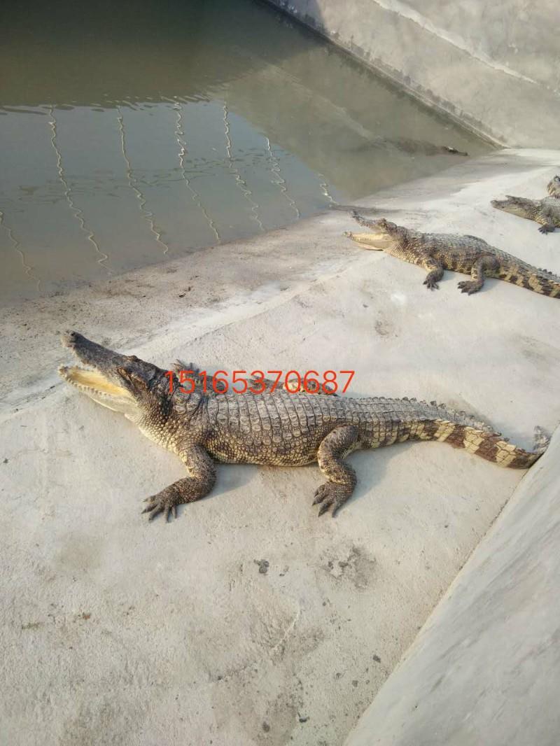 河北哪里有养殖鳄鱼的呢
