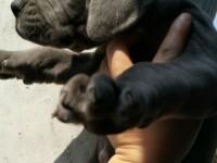 蓝系大丹幼犬出售 蓝血大丹幼犬出售