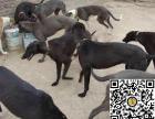 纯种格力犬狗狗出售