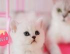 家养英短渐层金吉拉宠物猫特价1600转让