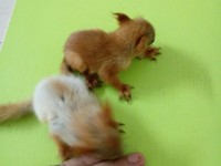出售宠物松鼠红腹黄山金花睡鼠雪地松鼠