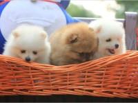 广州高品质的泰迪 比熊博美柯基法牛出售了 疫苗做完 质量三包