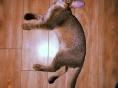 有偿领养阿比西尼亚猫
