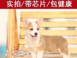 珠海买柯基犬首选 CKU认准犬舍 柯基幼犬价格优惠 宠之恋