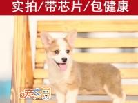 广州哪里买柯基犬有保障 双血统柯基幼犬价格多少钱