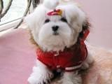 杭州那里有泰迪犬卖 杭州泰迪犬价格 杭州泰迪犬多少钱