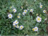 马兰种植 供应山东优惠的马兰花