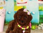 专业繁殖纯种泰迪犬 多只出售 签订协议 免费送