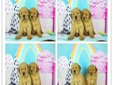 宠物狗 纯种哈士奇幼犬 狗狗出售 可签协议质保健康