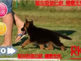 火热直销赛系德国牧羊犬/顶级种犬/名贵血统