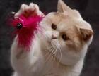 纯种英短幼猫蓝白八字带血统