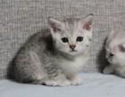 江门哪里买渐层猫 纯血统英短渐层猫 疫苗证书齐 终身质保