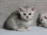 江门哪里有渐层猫买 江门自家繁殖渐层猫幼崽 包健康包养活