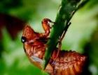 野生金蝉,产地直销,欢迎电话咨询