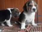 北京比格幼犬多少钱一只 北京哪里有卖比格 比格价格
