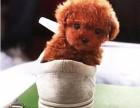 纯种茶杯泰迪熊 玩具泰迪犬 茶杯泰迪犬泰迪价格